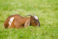 Nubian goat grazing Royalty Free Stock Photo