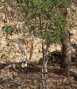 Nubian Ibex eating Leaves at Ein Gedi Royalty Free Stock Photo
