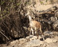 Nubian Ibex eating Leaves from a Tree Royalty Free Stock Photo