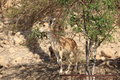 Nubian Ibex eating in the Oasis of Ein Gedi Royalty Free Stock Photo