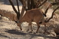 Nubian Ibex in the Ein Gedi Nature Reserve Royalty Free Stock Photo