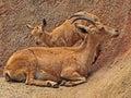 Nubian Ibex Royalty Free Stock Photo