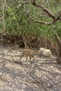 Nubian ibex, Israel Royalty Free Stock Photo