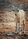 Nubian Ibex kid Royalty Free Stock Photo