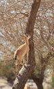 A Nubian Ibex on a Tree in Ein Gedi Oasis Royalty Free Stock Photo