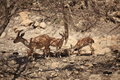Nubian Ibexes in the Nature at Ein Gedi Royalty Free Stock Photo