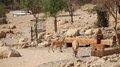 Nubian Ibexes on the Path in Ein Gedi, Israel Royalty Free Stock Photo