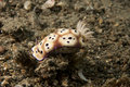 Nudibrach (Risbecia tryoni) Royalty Free Stock Image