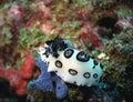 Nudibranch Royalty Free Stock Photo