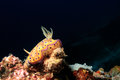 Nudibranch with black background brightly colored chromodoris on a tropical coral reef Stock Photos