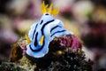 Nudibranch bunaken sulawesi indonesia chromodoris sp. underwater Royalty Free Stock Photo