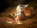 Nudibranch caloria indica a colorful taken in raja ampat indonesia Stock Photos
