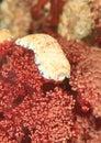 Nudibranch – chromodoris aureopurpurea purple dotted lembeh strait north sulawesi indonesia Royalty Free Stock Images