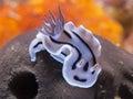 Nudibranch chromodoris willani at siladen dive site bunaken indonesia Stock Image