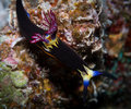 Nudibranch on the corals bighorn nembrotha setting Royalty Free Stock Photo