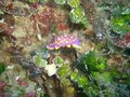 Nudibranch de Flabellina Photo libre de droits