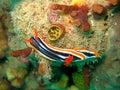 Nudibranch do Pyjama Fotos de Stock Royalty Free
