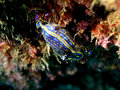 Nudibranch (Hypselodoris Cantabrica) Royalty Free Stock Photos