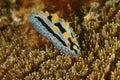 Nudibranch kapalai island sabah coral mabul Royalty Free Stock Photos