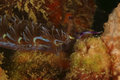 Nudibranch kapalai island sabah coral mabul Stock Photo