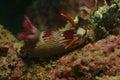 Nudibranch kapalai island sabah coral mabul Stock Photos