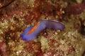 Nudibranch kapalai island sabah coral mabul Royalty Free Stock Photo
