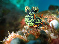 Nudibranch (Nembrotha kubaryana) Royalty Free Stock Image