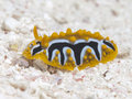Nudibranch phyllidia undulata in red sea egypt hurghada Stock Photos