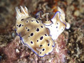 Nudibranch risbecia tryoni molucca sea Stock Photo