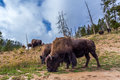 Numerous American Bison / Buffalo in Yellowstone National Park w Royalty Free Stock Photo