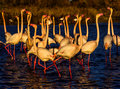 Nuptial parade and head flag movement of Flamingos Royalty Free Stock Photo