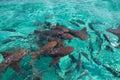 Nurse shark Royalty Free Stock Photo