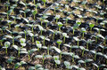 Nursery cucumber seedlings in trays in a Royalty Free Stock Photography