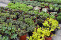 Nursery plants shop garden of decorative and seedlings Royalty Free Stock Photo