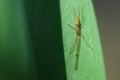 Nursery web spider (Pisaura Mirabilis) Royalty Free Stock Photo