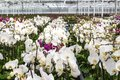 Nursery of white orchids overview Royalty Free Stock Photo
