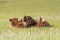 Nursing bear two young alaskan coastal brown cubs in meadow Royalty Free Stock Images