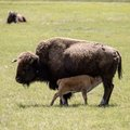 Nursing Bison Royalty Free Stock Photo