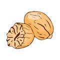 Nut meg seasoning isolated on white background hand drawn aromatic spice food and seasoning aniseed aroma condiment