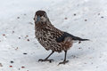 Nutcracker bird snow cedar closeup standing on the Stock Photos