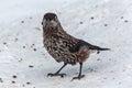 Nutcracker bird snow cedar Royalty Free Stock Photo