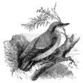 Nuthatch bird vintage illustration Stock Photo