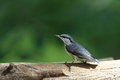 Nuthatch on the brid feeder pictured a which come to in summer Stock Image