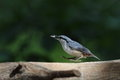 Nuthatch on the brid feeder pictured a which come to in summer Royalty Free Stock Images