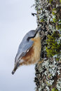 Nuthatch clinging to a trunk sitta europaea france vosges mountains Royalty Free Stock Photos