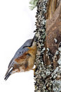 Nuthatch clinging to a trunk vosges france Stock Photography