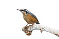 Nuthatch met rode borst Stock Foto