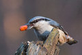 Nuthatch with a peanut closeup photo of eurasian sitta europaea holding in beak Royalty Free Stock Images