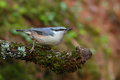 Nuthatch. Sitta europaea. Royalty Free Stock Photo