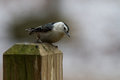 Nuthatch sitta passerine perched on a fencepost Stock Image